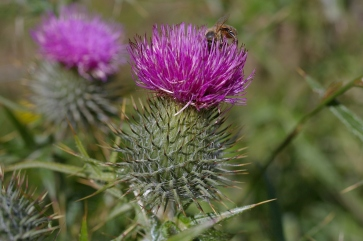 Scotland's national flower keeping the bees happy.