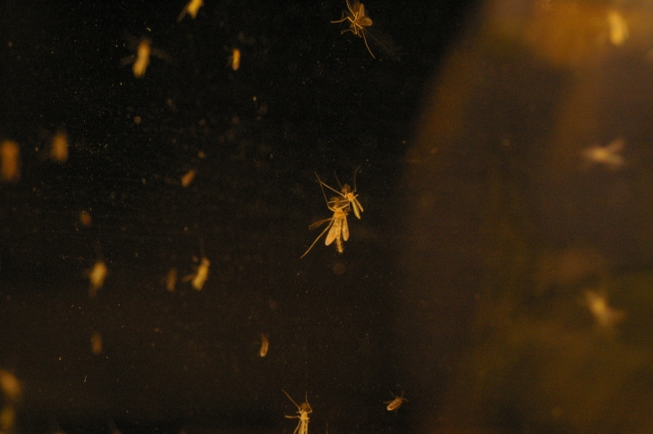 Midgies, the biting, itching pest of the Highlands. Attracted to the window by the lamp light.
