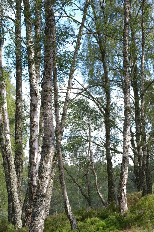 Silver birches, the tree of the North.