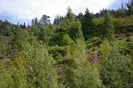 Glenmore forest, in the Cairngorm National Park. One of the last remaining authentic Scottish forests.