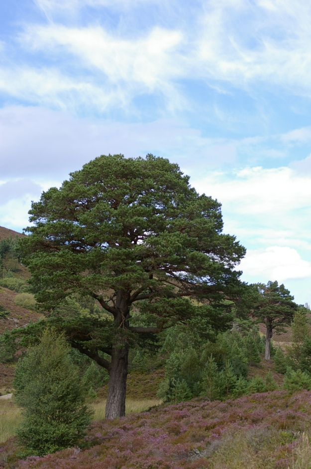 Caledonian or Scots pine. The only indigenous Scottish conifer.
