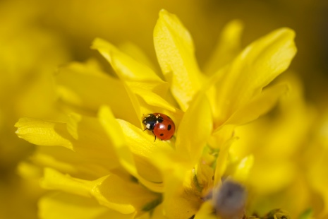 Ladybird happy in the forsythia.