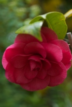 This camellia has flowered for the first time in the three since I planted it three years ago.