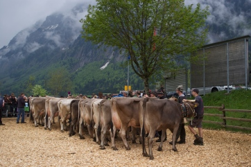 Cows at the local cow breeders' show.