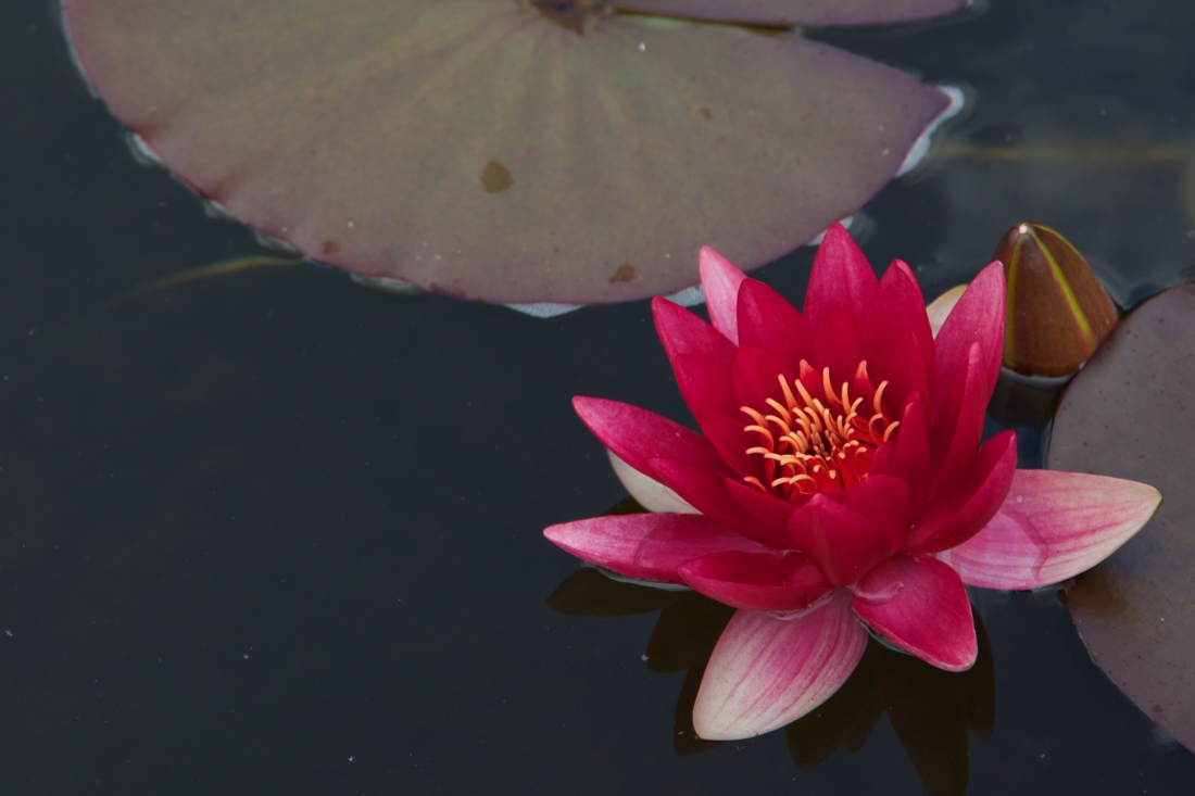 Pink water lily in a pond at Dunvegan Castle
