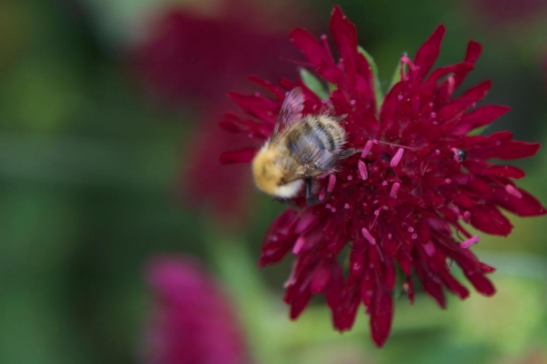 atrantia flower and a bee