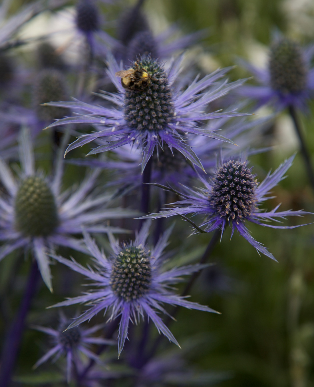 sea holly flowers and bee