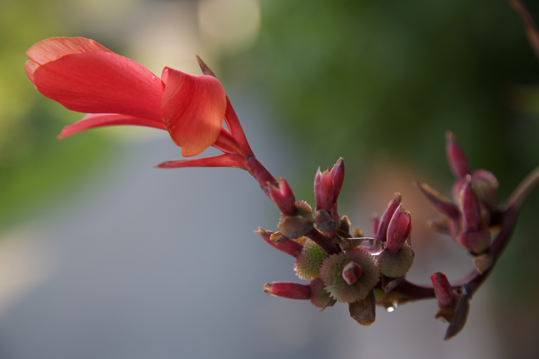 orange cana lily