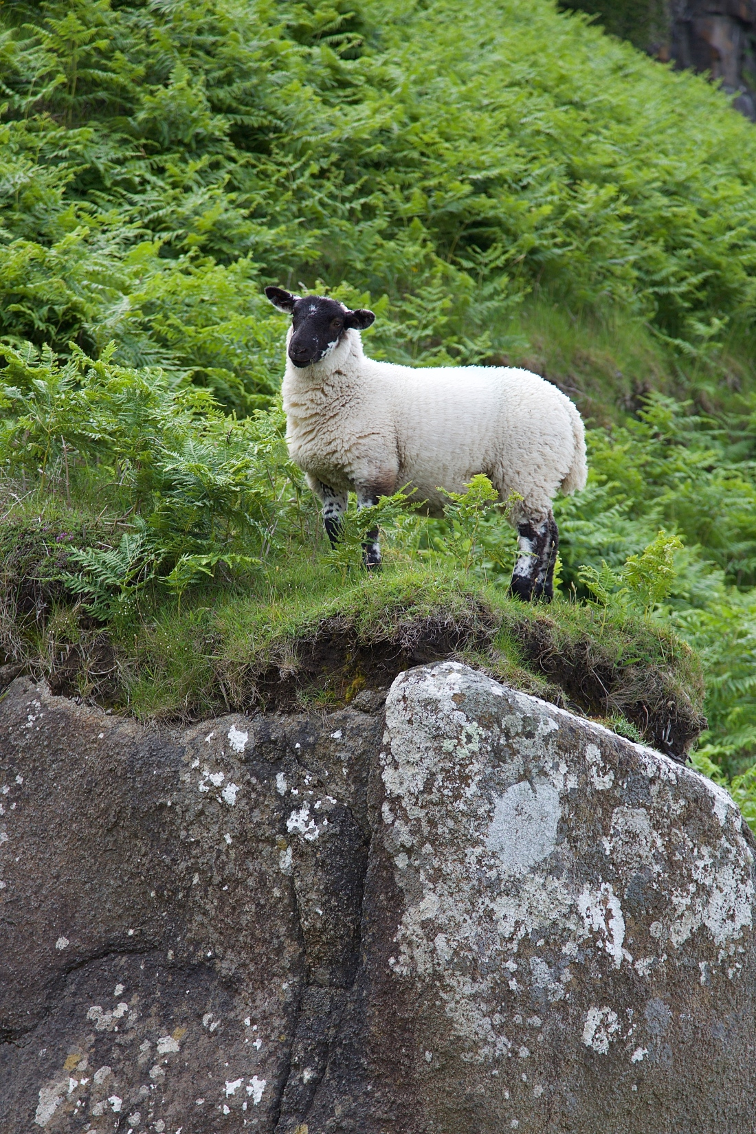 sheep standing on a rock